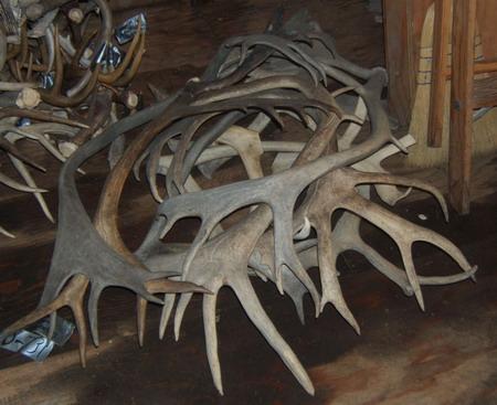 Bulk Caribou Antlers