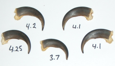Grizzly Bear Claws Length