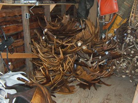 Bulk Moose Antlers